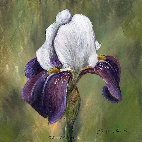 Art: Iris No 3 by Artist Janet M Graham