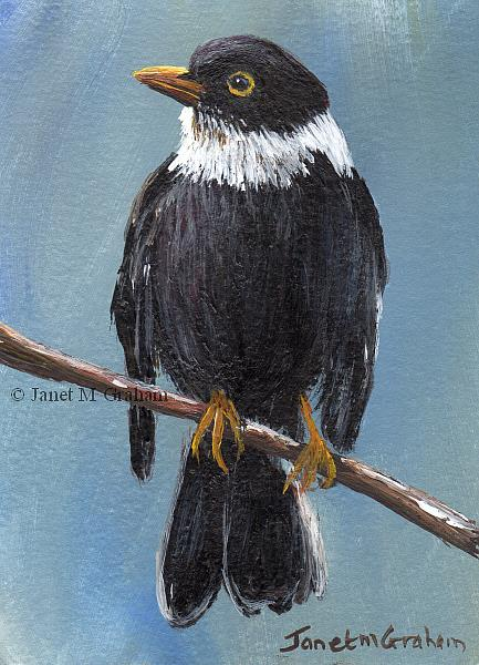 Art: White Collared Blackbird ACEO by Artist Janet M Graham