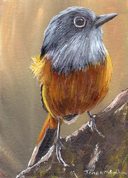 Art: Benson's Rock Thrush ACEO by Artist Janet M Graham