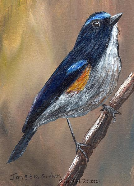 Art: Himalayan Bluetail ACEO by Artist Janet M Graham