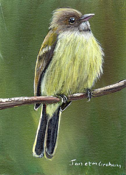 Art: Southern Beardless Tyrannulet ACEO by Artist Janet M Graham