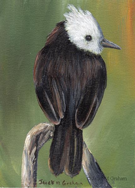Art: White Headed Marsh Tyrant ACEO by Artist Janet M Graham