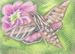 Art: Sphinx Hawk Moth by Artist Kim Loberg