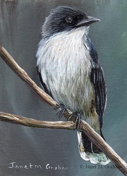Art: Eastern Kingbird ACEO by Artist Janet M Graham