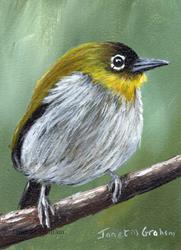 Art: Black Fronted White Eye ACEO by Artist Janet M Graham