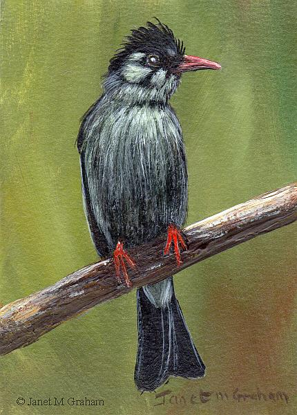 Art: Black Bulbul ACEO by Artist Janet M Graham