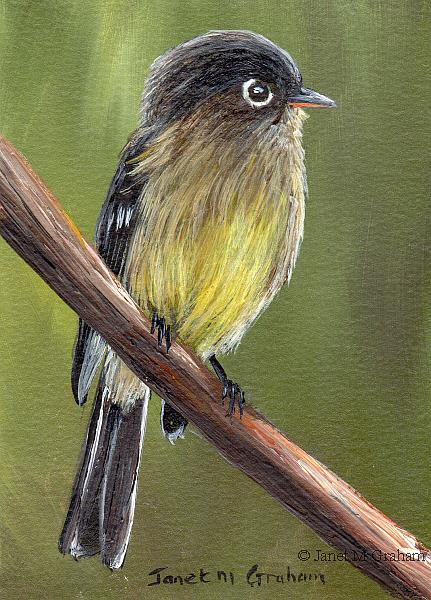 Art: Black Capped Flycatcher ACEO by Artist Janet M Graham