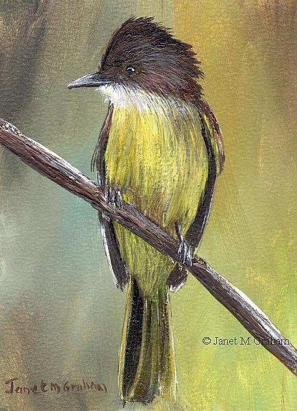 Art: Dusky Capped Flycatcher ACEO by Artist Janet M Graham