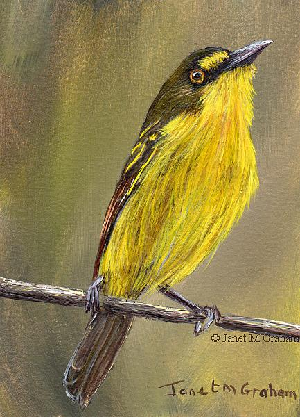 Art: Yellow Lored Tody Flycatcher ACEO by Artist Janet M Graham