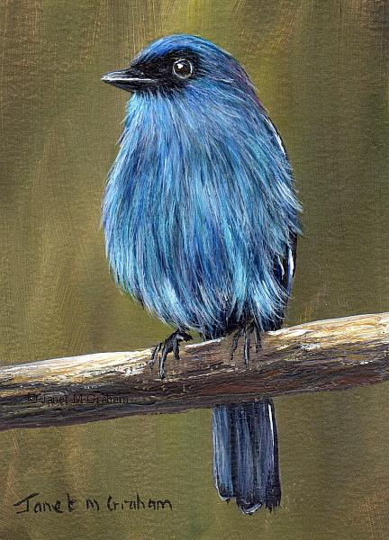 Art: Mountain Verditer Flycatcher ACEO by Artist Janet M Graham