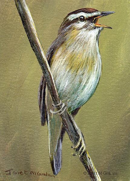 Art: Sedge Warbler ACEO by Artist Janet M Graham