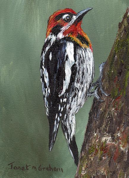 Art: Red Naped Sapsucker ACEO by Artist Janet M Graham