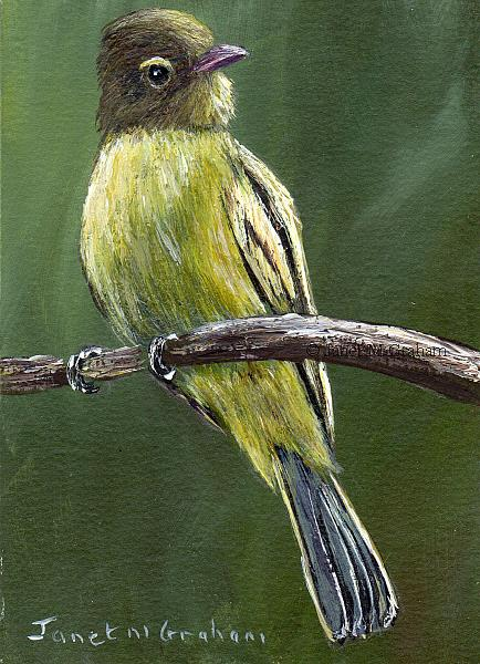 Art: Northern Beardless Tyrannulet ACEO by Artist Janet M Graham