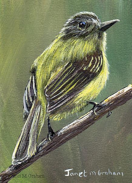 Art: Sepia Capped Flycatcher ACEO by Artist Janet M Graham