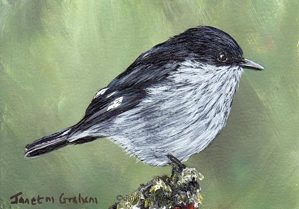 Art: Fiscal Flycatcher ACEO by Artist Janet M Graham