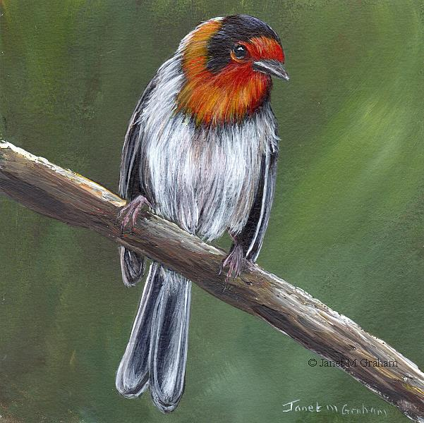 Art: Red Faced Warbler by Artist Janet M Graham