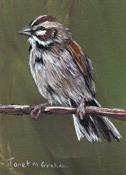 Art: Lark Sparrow ACEO by Artist Janet M Graham