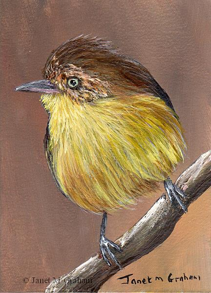 Art: Buff Rumped Thornbill ACEO by Artist Janet M Graham
