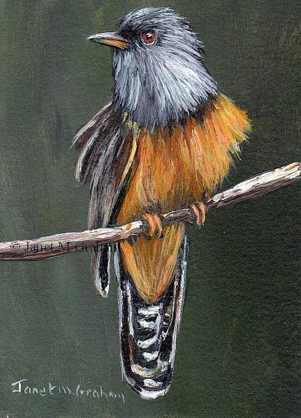 Art: Plaintive Cuckoo ACEO by Artist Janet M Graham