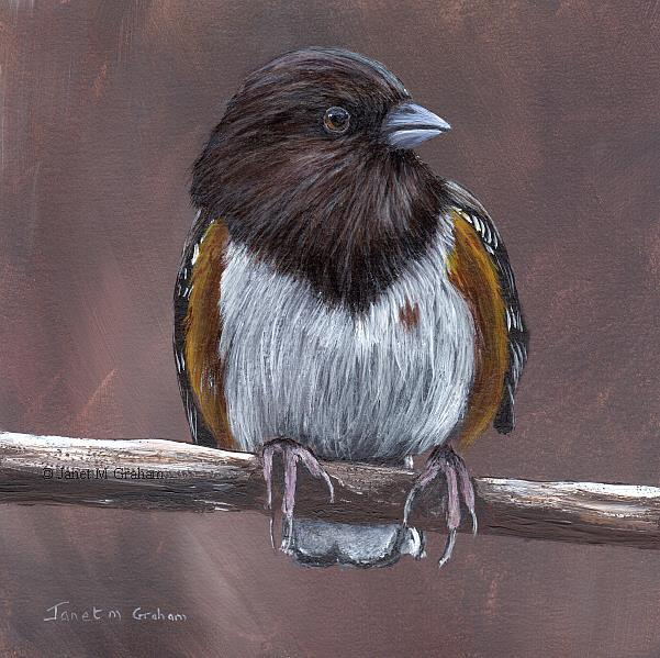 Art: Spotted Towhee No 2 by Artist Janet M Graham