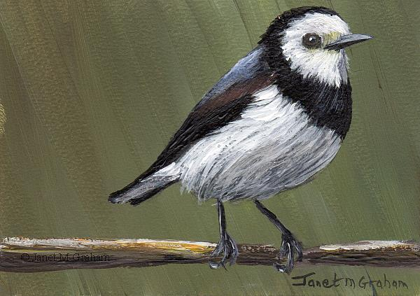 Art: White Fronted Chat ACEO by Artist Janet M Graham