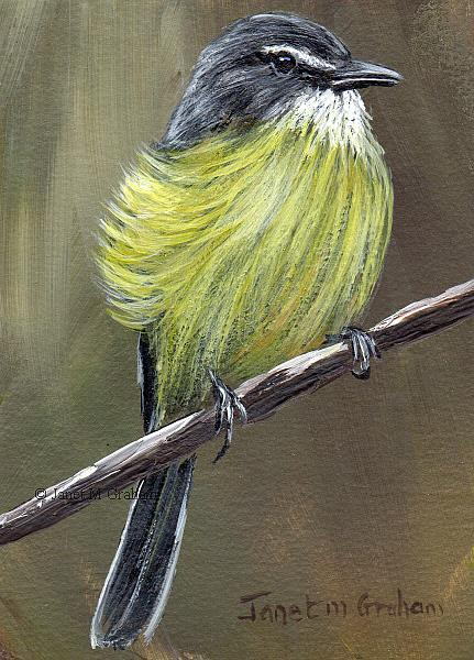 Art: White Crested Tyrannulet ACEO by Artist Janet M Graham