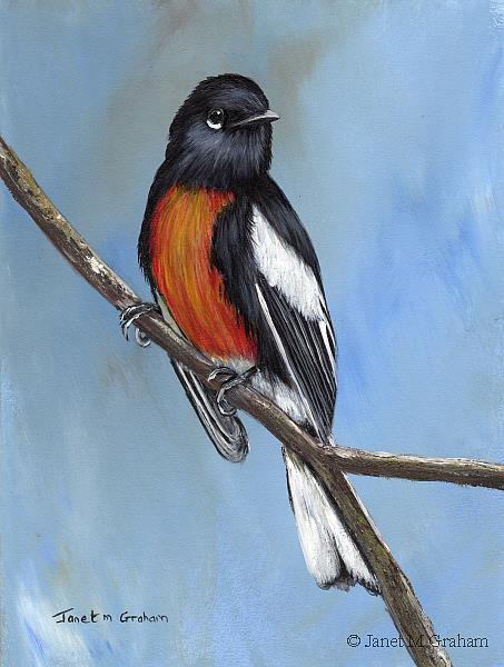 Art: Painted Redstart No 2 by Artist Janet M Graham