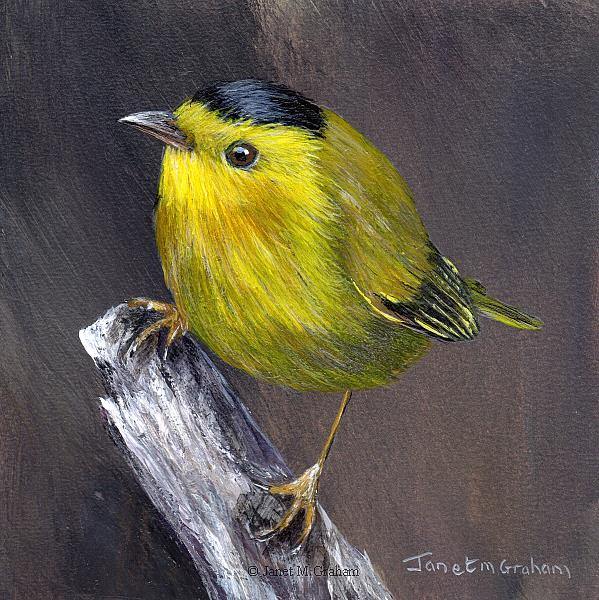 Art: Wilson's Warbler No 2 by Artist Janet M Graham