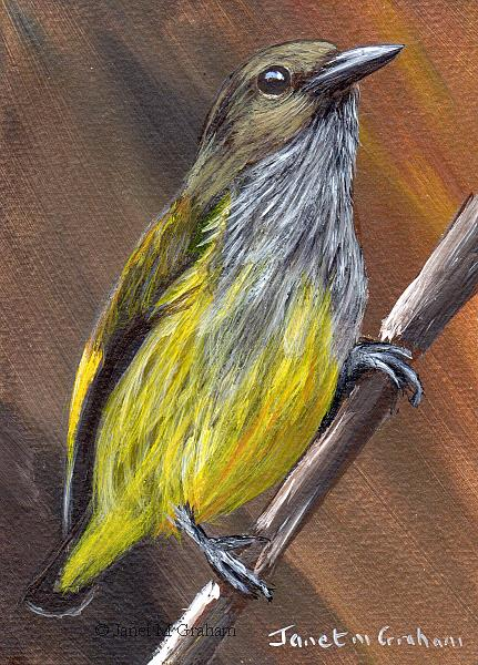 Art: Andaman Flowerpecker ACEO by Artist Janet M Graham