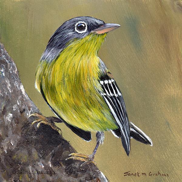 Art: Magnolia Warbler No 3 by Artist Janet M Graham