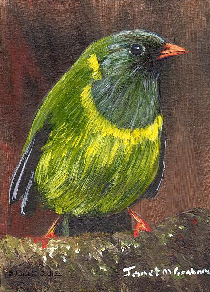 Art: Green and Black Fruiteater ACEO by Artist Janet M Graham