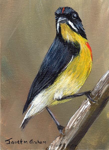 Art: Palawan Flowerpecker ACEO by Artist Janet M Graham