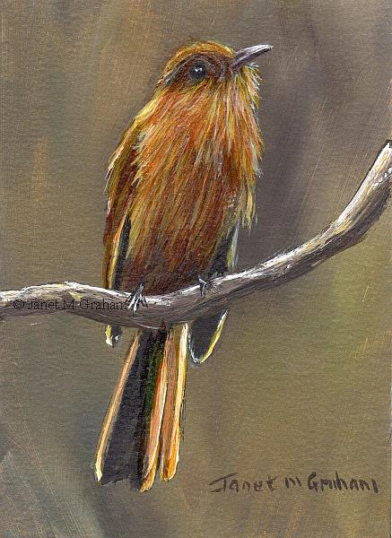 Art: Rufous Mourner ACEO by Artist Janet M Graham