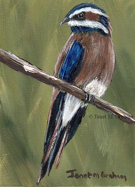 Art: Whiskered Treeswift ACEO by Artist Janet M Graham