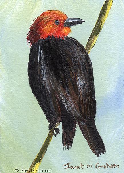 Art: Scarlet Headed Blackbird ACEO by Artist Janet M Graham