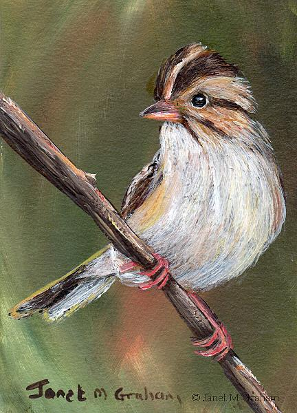 Art: Clay Coloured Sparrow ACEO by Artist Janet M Graham