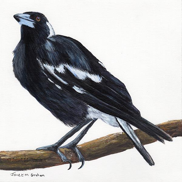 Art: Australian Magpie No 4 by Artist Janet M Graham