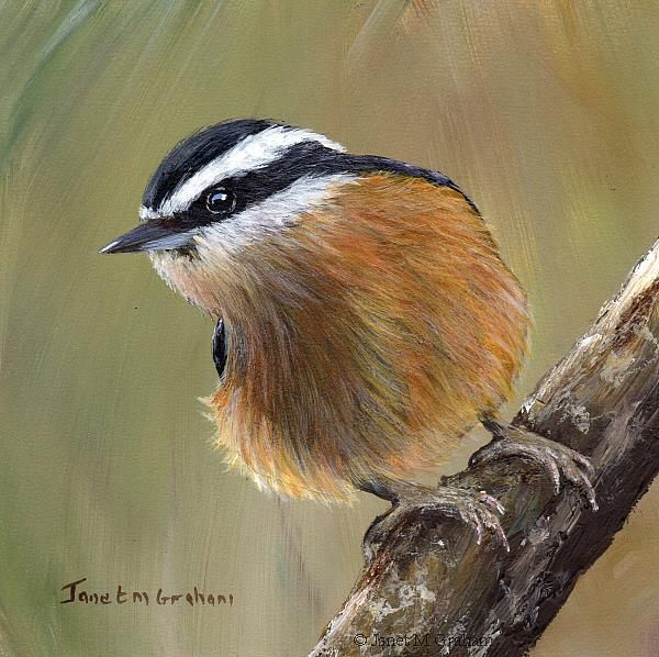 Art: Red Breasted Nuthatch No 6 by Artist Janet M Graham