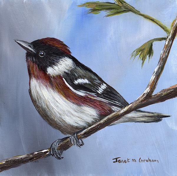 Art: Bay Breasted Warbler by Artist Janet M Graham