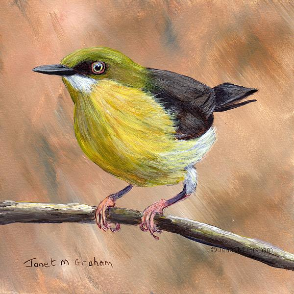 Art: Green Capped Eremomela by Artist Janet M Graham