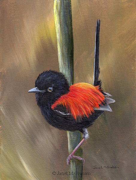 Art: Red Backed Fairy Wren by Artist Janet M Graham