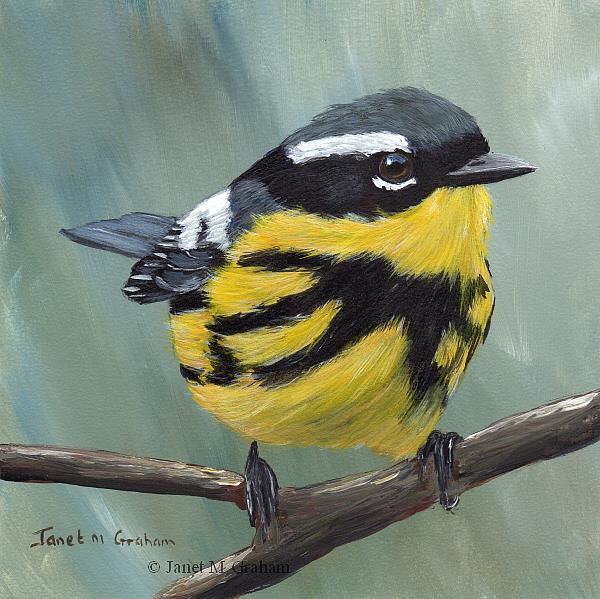 Art: Magnolia Warbler No 4 by Artist Janet M Graham