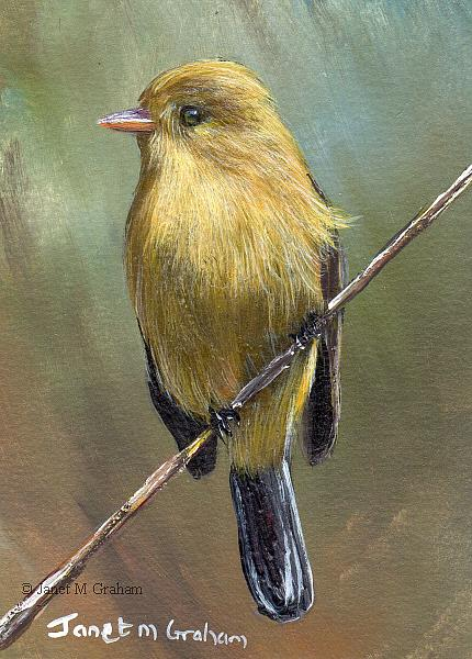 Art: Buff Breasted Flycatcher ACEO by Artist Janet M Graham