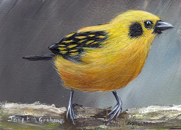 Art: Golden Tanager ACEO by Artist Janet M Graham
