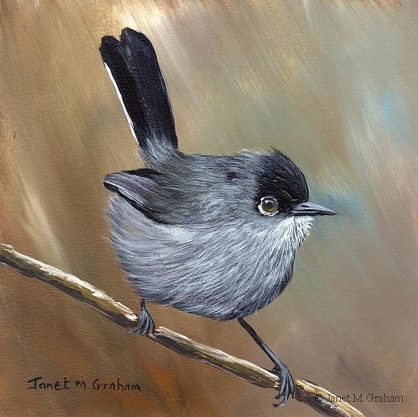 Art: California Gnatcatcher by Artist Janet M Graham