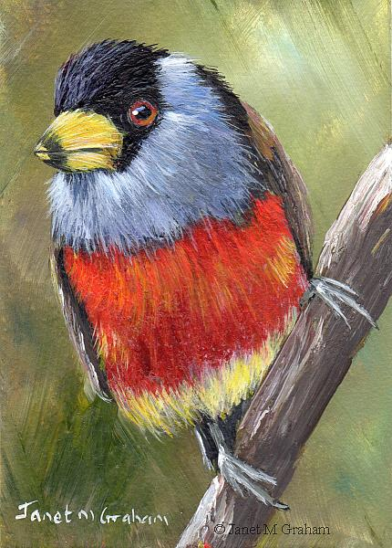 Art: Toucan Barbet ACEO by Artist Janet M Graham