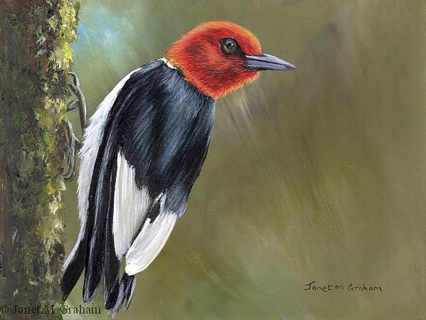 Art: Red Headed Woodpecker by Artist Janet M Graham