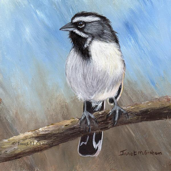 Art: Black Throated Sparrow by Artist Janet M Graham