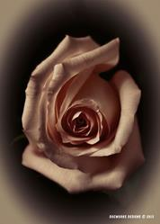 Art: Antique Rose by Artist Martha Di Giovanni