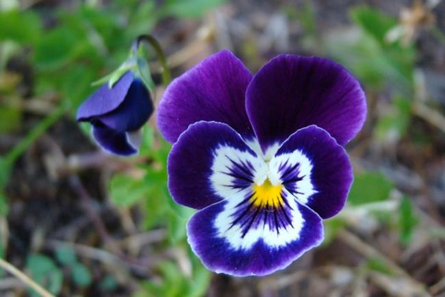 Art: Pansy Perfection by Artist Leea Baltes